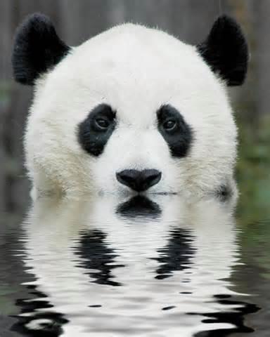Víš, kde žije panda?