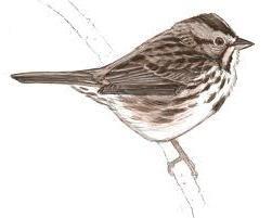 Jak nakreslit vrabce