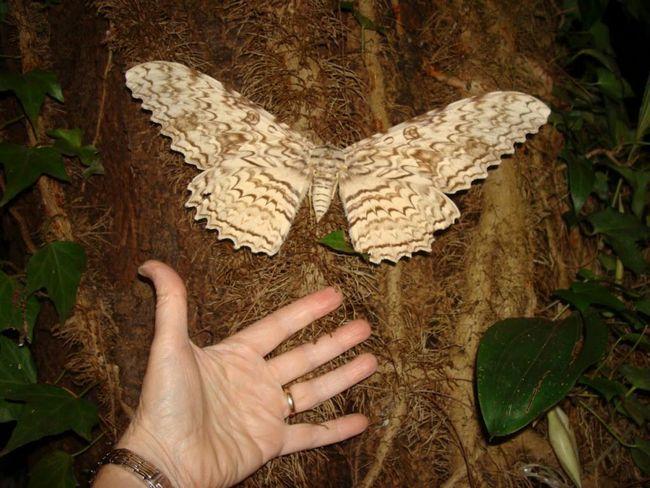 Jaký je největší motýl na světě?