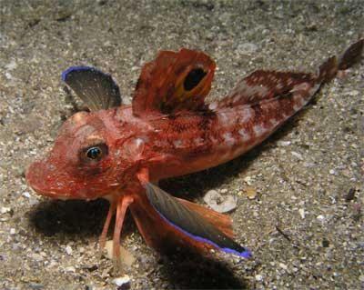 Mořský kohout je ryba schopná