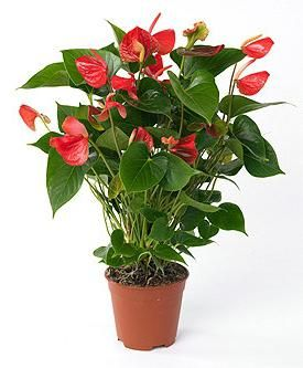 `Male flower `- anthurium