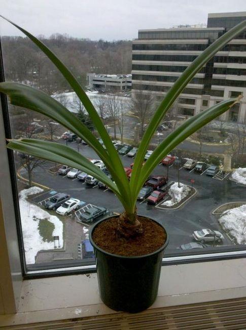 Proč není v místnosti amaryllis květ?