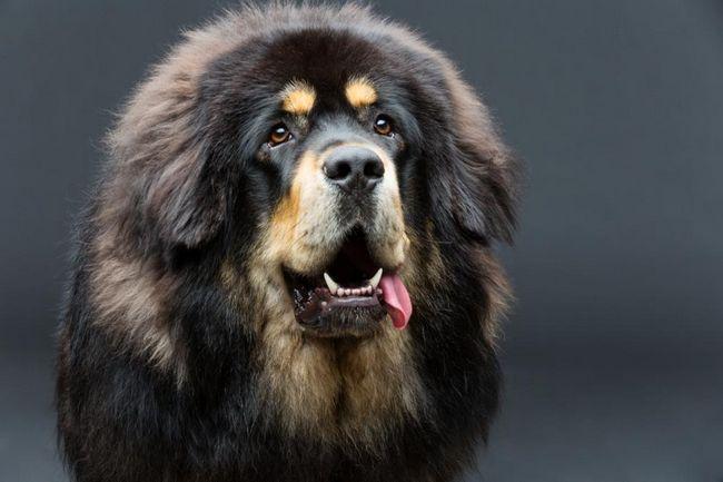 Nejdražší plemeno psů: přehled plemen, popis a vlastnosti