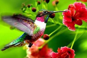 Nejmenší pták na světě je jedním z nejodvážnějších na naší planetě!