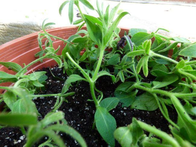 Hnojiva pro petunii: recenze o výrobcích a tipy pro použití