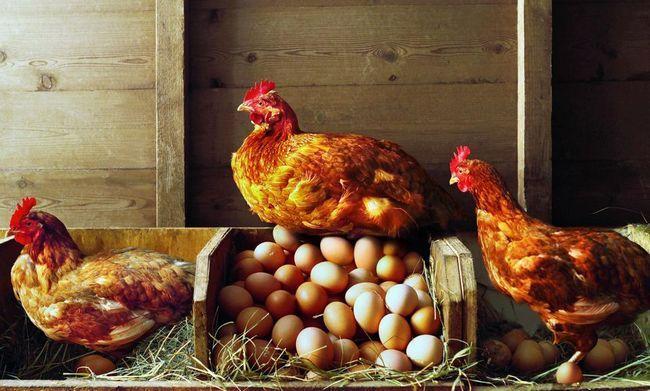Pěstování kuřat doma: funkce, péče a doporučení